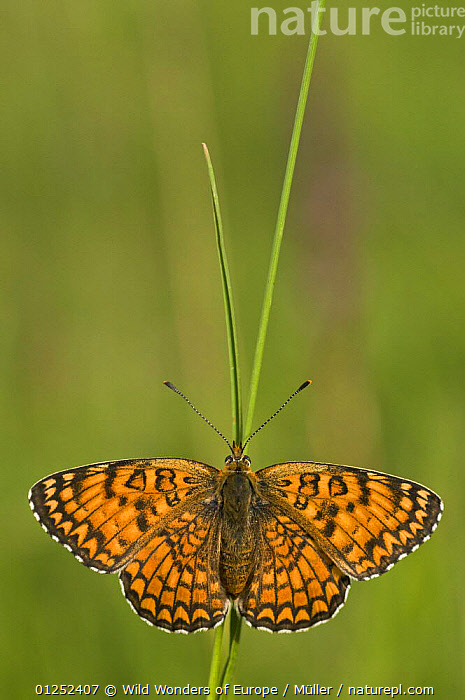 Glanville fritillary butterfly (Melitaea cinxia) on blade of grass, Pollino National Park, Basilicata, Italy, May 2009  ,  ARTHROPODS,BUTTERFLIES,CLAUDIA M�LLER,CUTOUT,EUROPE,INSECTS,INVERTEBRATES,ITALY,LEPIDOPTERA,NP,ORANGE,RESERVE,VERTICAL,WINGS,WWE,National Park  ,  Wild Wonders of Europe / Müller