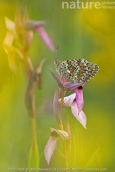 Glanville fritillary butterfly (Melitaea cinxia) on Tongue orchid (Serapias sp) Pollino National Park, Basilicata, Italy, May 2009  ,  ARTHROPODS,ARTY SHOTS,BUTTERFLIES,CLAUDIA M�LLER,EUROPE,FLOWERS,INSECTS,INVERTEBRATES,ITALY,LEPIDOPTERA,MONOCOTYLEDONS,NP,ORCHIDACEAE,ORCHIDS,PATTERNS,PLANTS,RESERVE,VERTICAL,WINGS,WWE,National Park  ,  Wild Wonders of Europe / Müller
