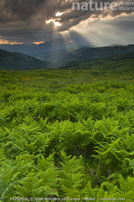 Ferns in a valley, Pollino National Park, Basilicata, Italy, May 2009  ,  ABETE,BASILICATA,CLAUDIA M�LLER,CLOUDS,DELL',EUROPE,FERNS,ITALY,LANDSCAPES,MOUNTAINS,NP,PLANTS,PTERIDOPHYTES,RESERVE,SERRA,SUNSHINE,VERTICAL,WWE,Weather,National Park  ,  Wild Wonders of Europe / Müller