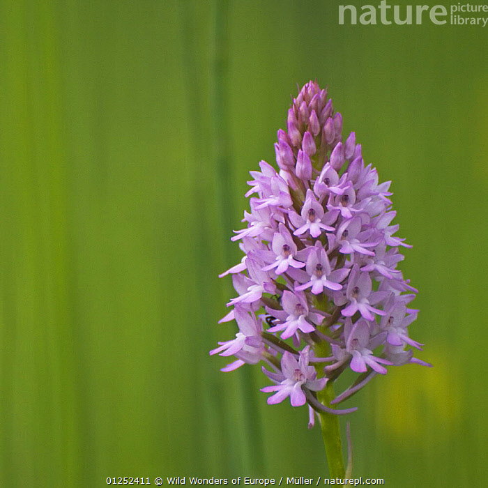 Pyramidal orchid {Anacamptis pyramidalis} Pollino National Park, Basilicata, Italy, May 2009  ,  CLAUDIA M�LLER,EUROPE,FLOWERS,ITALY,MONOCOTYLEDONS,NP,ORCHIDACEAE,ORCHIDS,PLANTS,PURPLE,RESERVE,WWE,National Park  ,  Wild Wonders of Europe / Müller