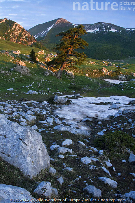 Bosnian pine (Pinus leucodermis) growing in rock strewn landscape, Pollino National Park, Basilicata, Italy, May 2009  ,  CLAUDIA M�LLER,CONIFERS,EUROPE,GYMNOSPERMS,ITALY,LANDSCAPES,MOUNTAINS,NP,PINACEAE,PINES,PLANTS,RESERVE,ROCKS,SNOW,VERTICAL,WWE,National Park  ,  Wild Wonders of Europe / Müller