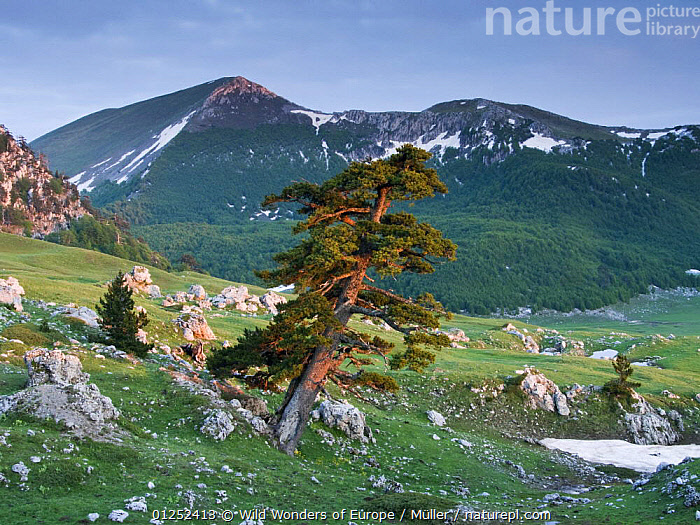 Bosnian pine (Pinus leucodermis / heldreichii) in rock strewn landscape, Pollino National Park, Basilicata, Italy May 2009  ,  CLAUDIA M�LLER,CONIFERS,EUROPE,FORESTS,GYMNOSPERMS,ITALY,LANDSCAPES,MOUNTAINS,NP,PINACEAE,PINES,PLANTS,RESERVE,ROCKS,SNOW,WWE,National Park  ,  Wild Wonders of Europe / Müller