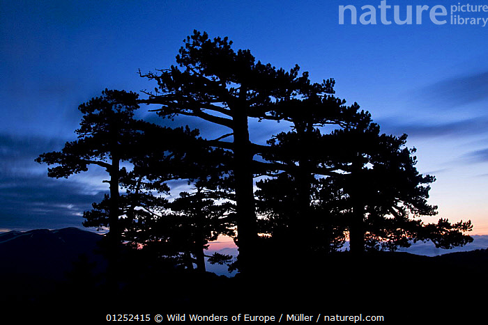 Bosnian pines (Pinus leucodermis) at dusk, Pollino National Park, Basilicata, Italy  ,  CLAUDIA M�LLER,CONIFERS,DUSK,EUROPE,GYMNOSPERMS,ITALY,NP,PINACEAE,PINES,PLANTS,RESERVE,SILHOUETTES,TREES,WWE,National Park  ,  Wild Wonders of Europe / Müller