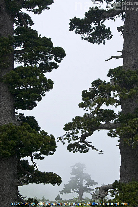 Bosnian pine trees (Pinus leucodermis) in mist, Pollino National Park, Basilicata, Italy, May 2009  ,  BIG,CLAUDIA M�LLER,CONIFERS,EUROPE,GRANDE,GYMNOSPERMS,ITALY,MIST,NP,PINACEAE,PINES,PLANTS,PORTA,RESERVE,SIZE,TREES,VERTICAL,WWE,National Park  ,  Wild Wonders of Europe / Müller