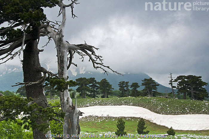 Bosnian pine (Pinus leucodermis) trees, Pollino National Park, Basilicata, Italy, May 2009  ,  CLAUDIA M�LLER,CLOUDS,CONIFERS,EUROPE,GRANDE,GYMNOSPERMS,ITALY,LANDSCAPES,NP,PINACEAE,PINES,PLANTS,PORTA,RESERVE,SNOW,TREES,WWE,Weather,National Park  ,  Wild Wonders of Europe / Müller