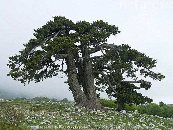 Bosnian pine (Pinus leucodermis) trees, Pollino National Park, Basilicata, Italy, May 2009  ,  CLAUDIA M�LLER,CONIFERS,EUROPE,GRANDE,GYMNOSPERMS,ITALY,MIST,NP,PINACEAE,PINES,PLANTS,PORTA,RESERVE,ROCKS,TREES,WWE,National Park  ,  Wild Wonders of Europe / Müller
