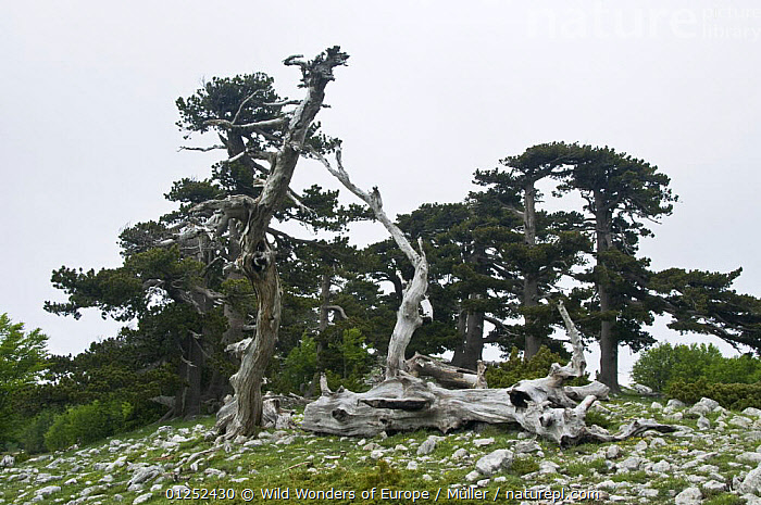 Bosnian pine (Pinus leucodermis) trees, Pollino National Park, Basilicata, Italy, May 2009  ,  CLAUDIA M�LLER,CONIFERS,DEATH,EUROPE,GRANDE,GYMNOSPERMS,ITALY,NP,PINACEAE,PINES,PLANTS,PORTA,RESERVE,ROCKS,TREES,TRUNKS,WWE,National Park  ,  Wild Wonders of Europe / Müller