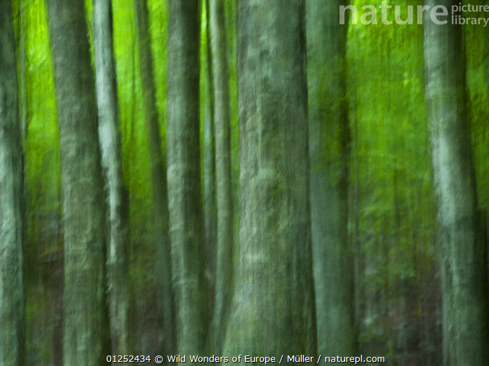 Abstract European beech trees (Fagus sylvatica) Pollino National Park, Basilicata, Italy, June 2009  ,  ABSTRACT,ARTY SHOTS,CLAUDIA M�LLER,DICOTYLEDONS,EUROPE,FAGACEAE,FORESTS,ITALY,NP,PLANTS,RESERVE,TREES,WWE,National Park  ,  Wild Wonders of Europe / Müller
