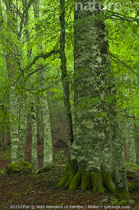 European beech trees (Fagus sylvatica) Pollino National Park, Basilicata, Italy, June 2009  ,  CLAUDIA M�LLER,DICOTYLEDONS,EUROPE,FAGACEAE,FORESTS,ITALY,NP,PLANTS,RESERVE,TREES,VERTICAL,WWE,National Park  ,  Wild Wonders of Europe / Müller