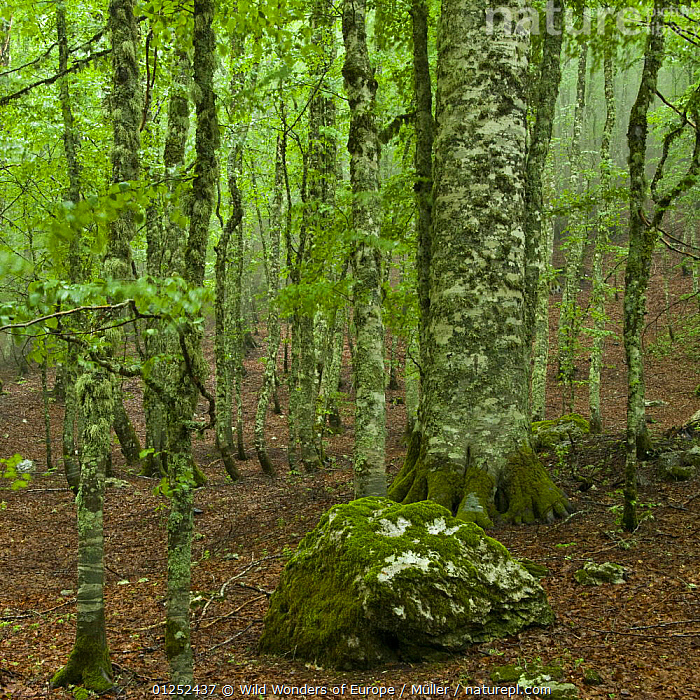 European beech (Fagus sylvatica) forest, Pollino National Park, Basilicata, Italy, June 2009  ,  CLAUDIA M�LLER,DICOTYLEDONS,EUROPE,FAGACEAE,FORESTS,ITALY,MOSS,NP,PLANTS,RESERVE,ROCKS,TREES,WOODLANDS,WWE,National Park  ,  Wild Wonders of Europe / Müller