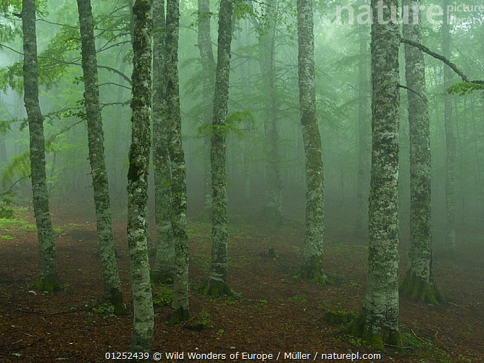European beech tree (Fagus sylvatica) forest in light mist, Pollino National Park, Basilicata, Italy, June 2009  ,  CLAUDIA M�LLER,DICOTYLEDONS,EUROPE,FAGACEAE,FORESTS,ITALY,MIST,NP,PLANTS,RESERVE,TREES,WWE,National Park  ,  Wild Wonders of Europe / Müller