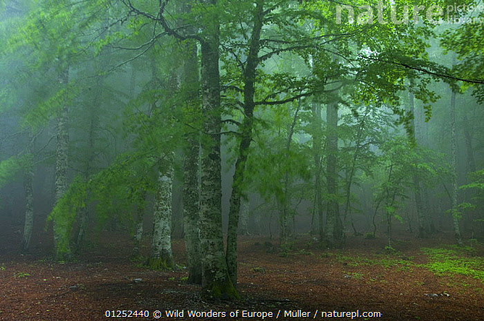 European beech tree (Fagus sylvatica) forest in mist, Pollino National Park, Basilicata, Italy, June 2009  ,  CLAUDIA M�LLER,DICOTYLEDONS,EUROPE,FAGACEAE,FORESTS,ITALY,MIST,NP,PLANTS,RESERVE,TREES,WWE,National Park  ,  Wild Wonders of Europe / Müller