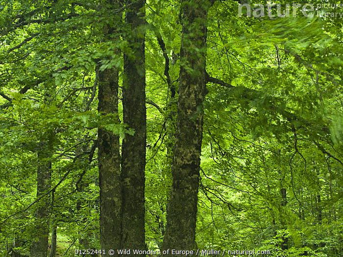 European beech trees (Fagus sylvatica) Pollino National Park, Basilicata, Italy, June 2009  ,  CLAUDIA M�LLER,DICOTYLEDONS,EUROPE,FAGACEAE,FORESTS,ITALY,NP,PLANTS,RESERVE,TREES,WWE,National Park  ,  Wild Wonders of Europe / Müller