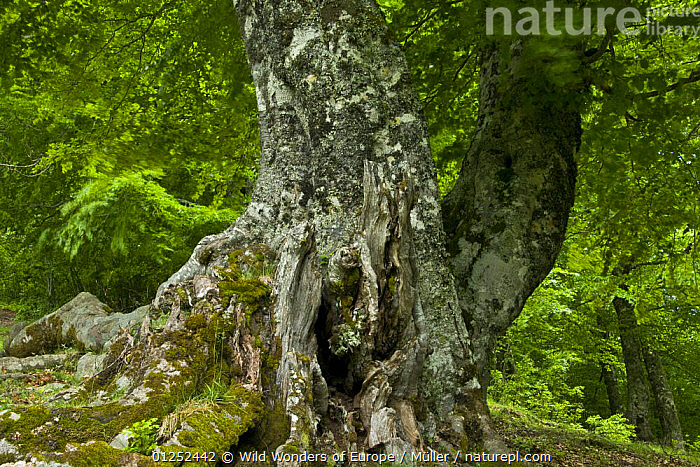 European beech (Fagus sylvatica) trunk, Pollino National Park, Basilicata, Italy, June 2009  ,  CLAUDIA M�LLER,DICOTYLEDONS,EUROPE,FAGACEAE,FORESTS,ITALY,NP,PLANTS,RESERVE,TREES,TRUNKS,WWE,National Park  ,  Wild Wonders of Europe / Müller