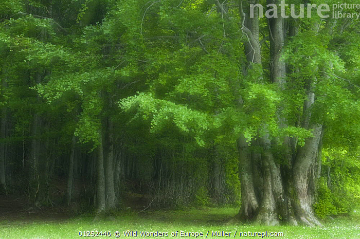 European beech trees (Fagus sylvatica) Pollino National Park, Basilicata, Italy, June 2009  ,  CLAUDIA M�LLER,DICOTYLEDONS,EUROPE,FAGACEAE,FORESTS,ITALY,NP,PLANTS,RESERVE,SOFT,TREES,WWE,National Park  ,  Wild Wonders of Europe / Müller