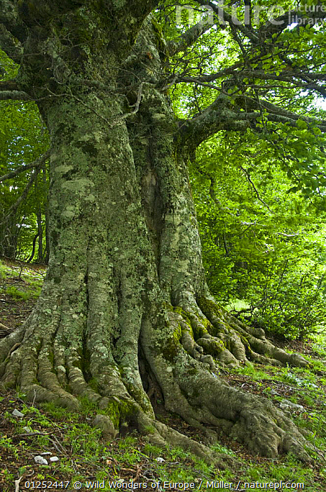 Old European beech trees (Fagus sylvatica) Pollino National Park, Basilicata, Italy, June 2009  ,  CLAUDIA M�LLER,DICOTYLEDONS,EUROPE,FAGACEAE,ITALY,NP,OLD,PLANTS,RESERVE,ROOTS,TREES,TRUNKS,VERTICAL,WWE,National Park  ,  Wild Wonders of Europe / Müller