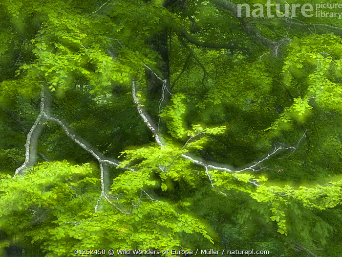 European beech (Fagus sylvatica) branches, Pollino National Park, Basilicata, Italy, June 2009  ,  ARTY SHOTS,BRANCHES,CLAUDIA M�LLER,DICOTYLEDONS,EUROPE,FAGACEAE,GREEN,ITALY,LEAVES,NP,PLANTS,RESERVE,WWE,National Park  ,  Wild Wonders of Europe / Müller