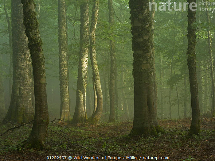 European beech (Fagus sylvatica) forest in light mist, Pollino National Park, Basilicata, Italy, June 2009  ,  CLAUDIA M�LLER,DICOTYLEDONS,EUROPE,FAGACEAE,FORESTS,ITALY,MIST,NP,PLANTS,RESERVE,TREES,TRUNKS,WWE,National Park  ,  Wild Wonders of Europe / Müller
