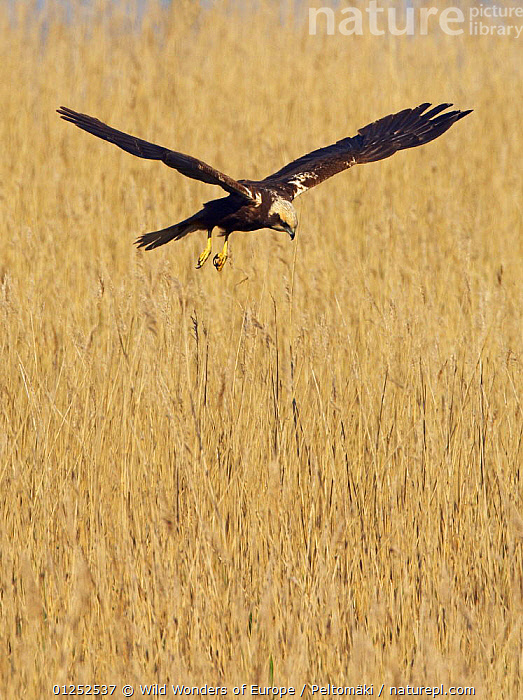Female Marsh harrier (Circus aeruginosus) hovering over reeds, Texel, Netherlands, May 2009  ,  AGRICULTURE,BIRDS,BIRDS OF PREY,EUROPE,FEMALES,FLYING,HARRIERS,HOLLAND,JARI PELTOM�KI,VERTEBRATES,VERTICAL,WWE  ,  Wild Wonders of Europe / Peltomäki