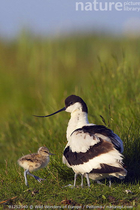 Avocet (Recurvirostra avosetta) with young, Texel, Netherlands, May 2009  ,  AVOCETS,BABIES,BIRDS,CHICKS,EUROPE,HOLLAND,JARI PELTOM�KI,VERTEBRATES,VERTICAL,WADERS,WWE  ,  Wild Wonders of Europe / Peltomä