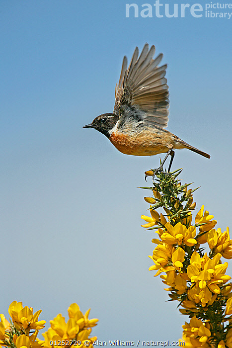 Stonechat (Saxicola torquata) male taking off from Gorse, Suffolk, UK, May  ,  BIRDS,CHATS,EUROPE,FLOWERS,FLYING,MALES,TAKE OFF,UK,VERTEBRATES,VERTICAL,WINGS,YELLOW, United Kingdom  ,  Alan Williams