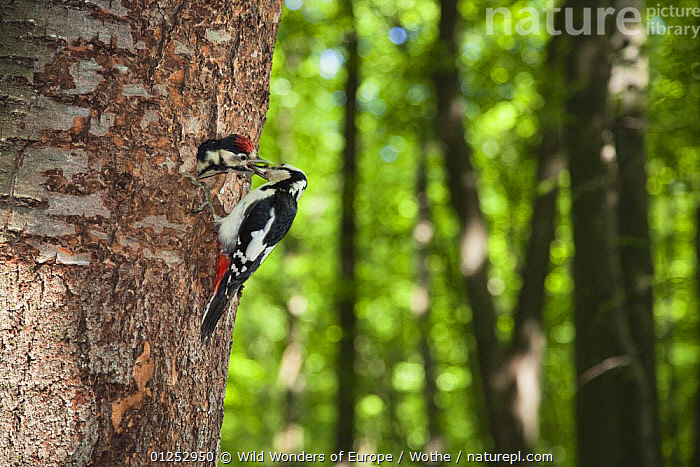 Great spotted woodpecker (Dendrocopos major) feeding chick at nest hole, deciduous forest in the Vihorlat Mountains near Michalovce, Western Carpathians, Eastern Slovakia, Europe, May 2009  ,  BABIES,BEHAVIOUR,BIRDS,CHICKS,EASTERN EUROPE,EUROPE,FEEDING,FORESTS,KONRAD WOTHE,PARENTAL,SLOVAKIA,TRUNKS,VERTEBRATES,WOODPECKERS,WWE  ,  Wild Wonders of Europe / Wothe