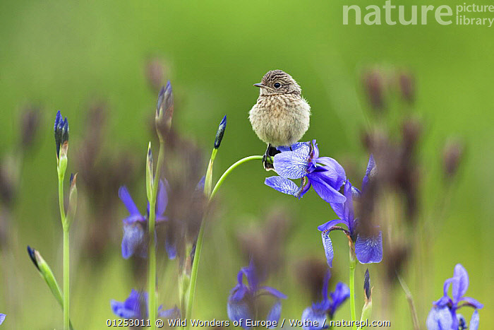 Young Stonechat (Saxicola torquata) sitting on Siberian iris (Iris sibirica) Eastern Slovakia, Europe, May 2009, BIRDS,CHATS,CUTE,EASTERN EUROPE,EUROPE,FLOWERS,IRIDACEAE,JUVENILE,KONRAD WOTHE,MONOCOTYLEDONS,PLANTS,PURPLE,SLOVAKIA,VERTEBRATES,WWE, Wild Wonders of Europe / Wothe
