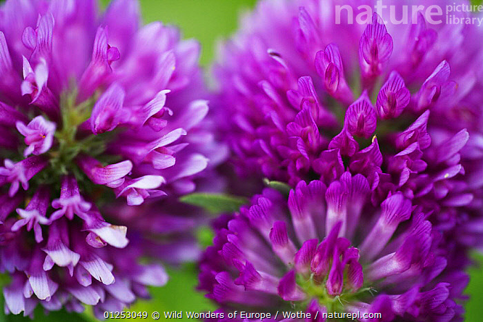 Close-up of Red clover (Trifolium pratense) flowers, Eastern Slovakia, Europe, June 2009  ,  CLOSE UPS,DICOTYLEDONS,EASTERN EUROPE,EUROPE,FABACEAE,FLOWERS,KONRAD WOTHE,LEGUME,PINK,PLANTS,SLOVAKIA,THREE,WWE  ,  Wild Wonders of Europe / Wothe