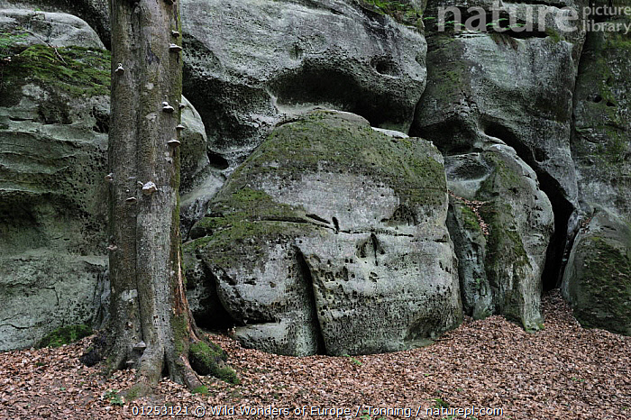 Sandstone formations with a Beech tree trunk (Fagus sylvatica) Echternach, Mullerthal, Luxembourg, May 2009  ,  DICOTYLEDONS,EROSION,EUROPE,FAGACEAE,JESPER T�NNING,LANDSCAPES,LUXEMBOURG,PLANTS,ROCKS,TREES,TRUNKS,WWE  ,  Wild Wonders of Europe / T�nning