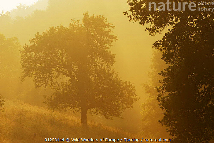 Apple trees in morning mist, Roudenhaff, Mullerthal, Luxembourg, May 2009  ,  ATMOSPHERIC, DICOTYLEDONS, EUROPE, Jesper-T�nning, luxembourg, MIST, ORANGE, PLANTS, ROSACEAE, SILHOUETTES, TREES, WWE  ,  Wild Wonders of Europe / T�nning
