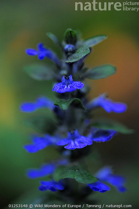 Blue bugle (Ajuga reptans) in flower, Bugleweed, Echternach, Mullerthal, Luxembourg, May 2009, ARTY SHOTS,BLUE,DICOTYLEDONS,EUROPE,FLOWERS,JESPER T�NNING,LAMIACEAE,LUXEMBOURG,PLANTS,VERTICAL,WWE, Wild Wonders of Europe / T�nning