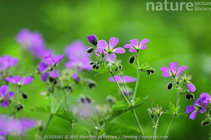 Woody cranesbill (Geranium sylvaticum) in flower, Oesling, Ardennes, Luxembourg, May 2009  ,  DICOTYLEDONS,EUROPE,FLOWERS,GERANIACEAE,JESPER T�NNING,LUXEMBOURG,PINK,PLANTS,WWE  ,  Wild Wonders of Europe / T�nning