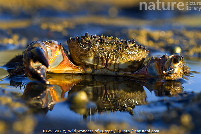 Crab (Eriphia verrucosa) in shallow water, Alentejo, Natural Park of South West Alentejano and Costa Vicentina, Portugal, June 2009, ARTHROPODS,CRABS,CRUSTACEANS,EUROPE,INVERTEBRATES,LU�S QUINTA,PORTRAITS,PORTUGAL,REFLECTIONS,RESERVE,WATER,WWE, Wild Wonders of Europe / Quinta