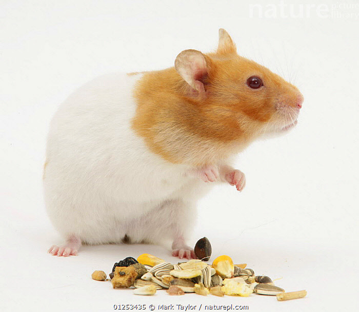 Short-haired Syrian Hamster with food seeds, CUTOUT,FEEDING,HAMSTERS,MAMMALS,PETS,RODENTS,SEEDS,STUDIO,VERTEBRATES,Muridae, Mark Taylor