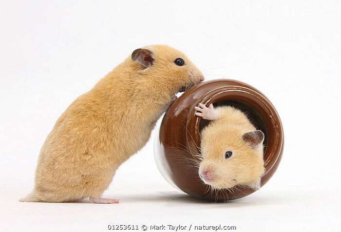 Two Golden Hamsters playing with a china pot., BEHAVIOUR,CUTOUT,FRIENDS,HAMSTERS,PETS,PLAY,RODENTS,ROLLING,STUDIO,Communication,Mammals,Muridae, Mark Taylor