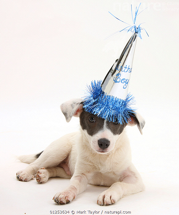 Blue-and-white Jack Russell Terrier puppy, Scamp, wearing a party hat.  ,  BABIES,birthday,BLUE,CATALOGUE2,celebration,close up,clothes,CUTOUT,DOGS,domestic animal,hats,HUMOROUS,Jack Russell,lettering,looking at camera,medium dogs,Nobody,one animal,party hat,PETS,puppies,puppy,SITTING,Studio,studio shot,Terrier,terriers,TEXT,white background,Concepts,Canids  ,  Mark Taylor