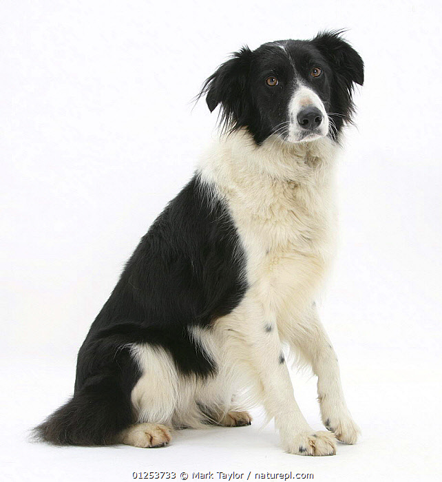 Black-and-white Border Collie, Phoebe, raising her lame paw.  ,  CUTOUT,DOGS,LARGE DOGS,PASTORAL DOGS,PETS,STUDIO,WOUNDED,Canids  ,  Mark Taylor