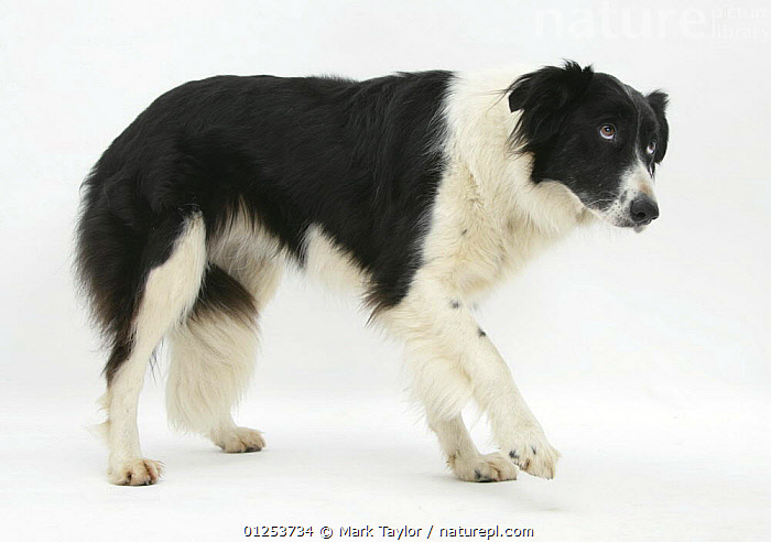 Black-and-white Border Collie, Phoebe, walking, raising her lame paw.  ,  CUTOUT,DOGS,LARGE DOGS,PASTORAL DOGS,PETS,STUDIO,WOUNDED,Canids  ,  Mark Taylor