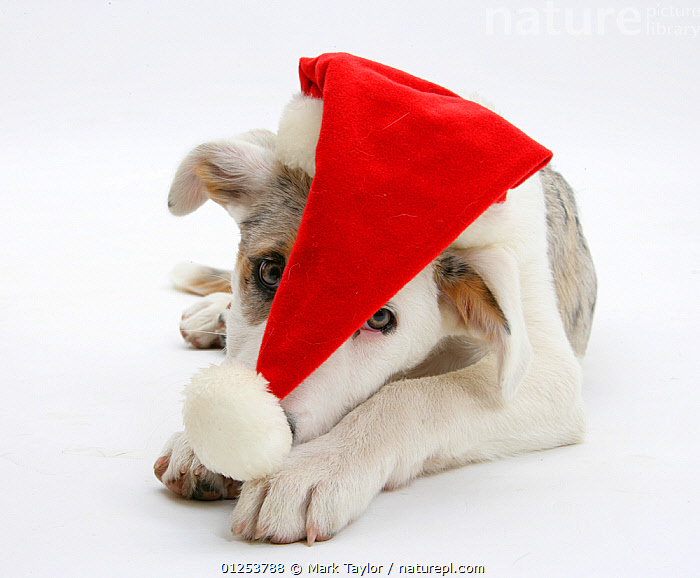 White-and-merle Border Collie-cross puppy, Ice, 14 weeks, wearing a Father Christmas hat.  ,  BABIES,Border Collie,CATALOGUE2,Christmas,CUTOUT,DOGS,domestic animal,festive,forlorn,hats,hoplessness,HUMOROUS,large dogs,looking at camera,Nobody,one animal,pastoral dogs,PETS,puppies,RED,sadness,santa hat,Seasonal,Studio,studio shot,white background,young animal,Concepts,Canids  ,  Mark Taylor