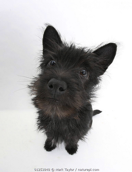 Black Terrier-cross puppy, Maisy, 3 months, sitting, looking up  ,  BABIES,CROSSBREED,CUTOUT,DOGS,HIGH ANGLE SHOTS,MEDIUM DOGS,PETS,PUPPIES,STUDIO,TERRIERS,WIDE ANGLE,Canids,,cutout,white background,  ,  Mark Taylor