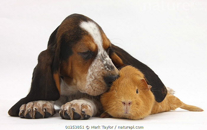 Basset Hound puppy, Betty, 9 weeks, with ear over a red guinea pig.