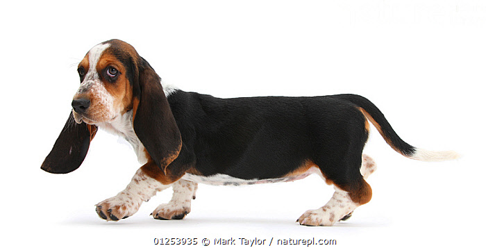 Basset Hound puppy, Betty, 9 weeks, walking across., animal ear,BABIES,Basset Hound,CATALOGUE2,close up,CUTOUT,DOGS,ear,EARS,floppy,full length,hounds,HUMOROUS,looking at camera,medium dogs,Nobody,one animal,PETS,PROFILE,puppy,scenthounds,side view,Studio,studio shot,suspicious,WALKING,white background,young animal,Concepts,Canids, Mark Taylor