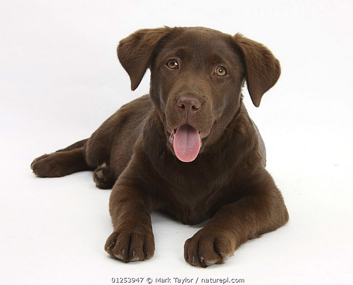 Nature Picture Library Chocolate Labrador Puppy Lucie 3 Months