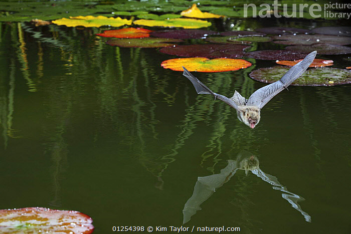 Natterer's bat (Myotis nattereri) about to drink from the surface of a lily pond, Surrey, UK  ,  BATS,BEHAVIOUR,CHIROPTERA,EUROPE,FLYING,GARDENS,MAMMALS,MOUTHS,NIGHT,PONDS,REFLECTIONS,TONGUES,UK,VERTEBRATES,WATER, United Kingdom, United Kingdom, United Kingdom,Catalogue1  ,  Kim Taylor