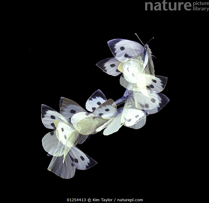 Female Large white butterfly (Pieris brassicae) in flight, Surrey, UK. Multiple exposure  ,  ARTHROPODS,BUTTERFLIES,EUROPE,FEMALES,FLYING,high speed,INSECTS,INVERTEBRATES,LEPIDOPTERA,strobe photography,UK, United Kingdom, United Kingdom, United Kingdom,Catalogue1  ,  Kim Taylor