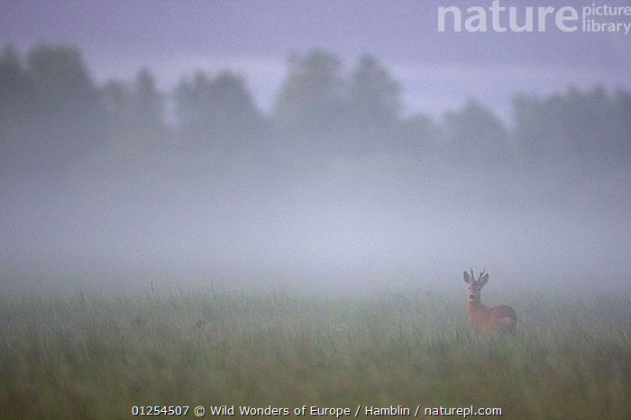 Roe deer (Capreolus capreolus) buck in wet meadow at dawn, Nemunas Delta, Lithuania, June 2009  ,  ARTIODACTYLA,BALTIC,CERVIDS,DAWN,DEER,EUROPE,LITHUANIA,MALES,MAMMALS,MARK HAMBLIN,MEADOWLAND,MIST,VERTEBRATES,WWE,Grassland  ,  Wild Wonders of Europe / Hamblin