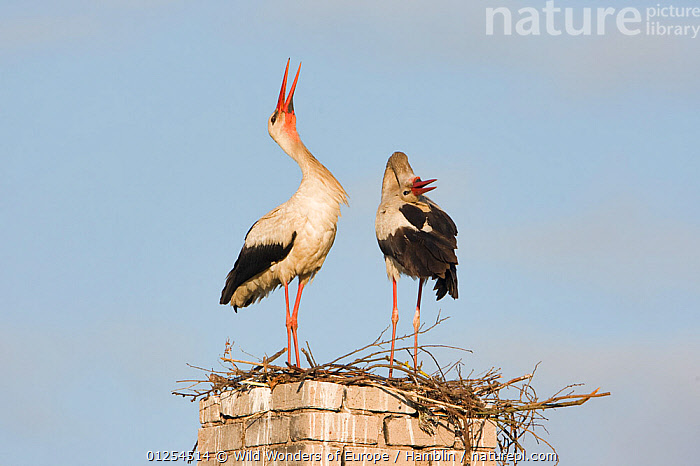 White stork (Ciconia ciconia) pair at nest site on old chimney, Rusne, Nemunas Regional Park, Lithuania, June 2009  ,  BALTIC,BEHAVIOUR,BIRDS,COURTSHIP,DISPLAY,EUROPE,LITHUANIA,MALE FEMALE PAIR,MARK HAMBLIN,NESTS,RESERVE,STORKS,VERTEBRATES,WWE,Communication  ,  Wild Wonders of Europe / Hamblin