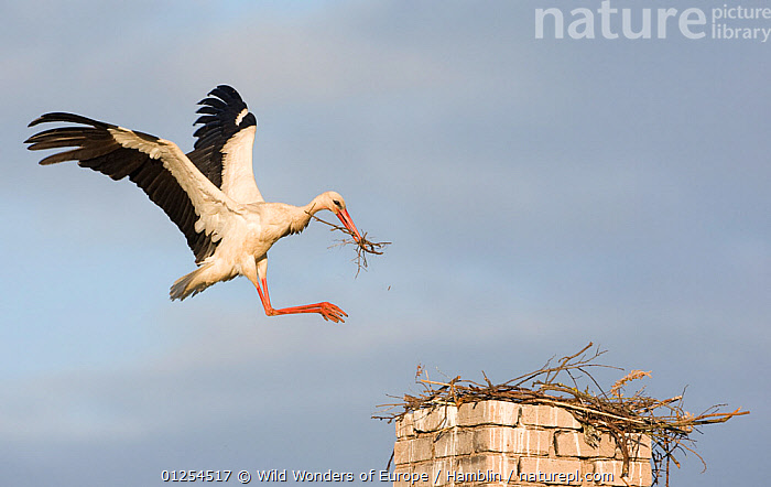 White stork (Ciconia ciconia) landing on chimney with nesting material, Rusne, Nemunas Regional Park, Lithuania, June 2009  ,  BALTIC,BIRDS,CUTOUT,EUROPE,FLYING,LANDING,LITHUANIA,MARK HAMBLIN,NESTING BEHAVIOUR,NESTS,RESERVE,STORKS,VERTEBRATES,WWE  ,  Wild Wonders of Europe / Hamblin
