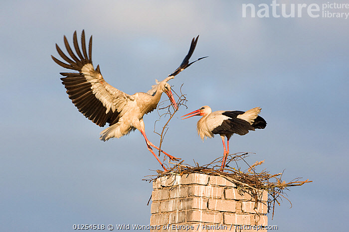 White stork (Ciconia ciconia) landing on chinmey with nesting material, Rusne, Nemunas Regional Park, Lithuania, June 2009  ,  BALTIC,BIRDS,EUROPE,FLYING,LANDING,LITHUANIA,MALE FEMALE PAIR,MARK HAMBLIN,NESTING BEHAVIOUR,NESTS,RESERVE,STORKS,VERTEBRATES,WINGS,WWE  ,  Wild Wonders of Europe / Hamblin