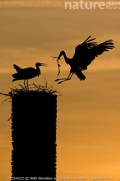White stork (Ciconia ciconia) landing with nest material, silhouetted at dusk, Rusne, Nemunas Regional Park, Lithuania, June 2009 WWE OUTDOOR EXHIBITION. Wild Wonders kids book.  ,  BALTIC,BIRDS,EUROPE,FLYING,LANDING,LITHUANIA,MALE FEMALE PAIR,MARK HAMBLIN,NESTING BEHAVIOUR,NESTS,OUTDOOR EXHIBITION,RESERVE,SILHOUETTES,STORKS,VERTEBRATES,VERTICAL,WWE  ,  Wild Wonders of Europe / Hamblin